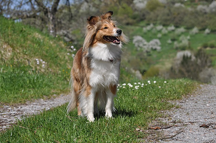 Shelties 7.4.11_070.jpg-700