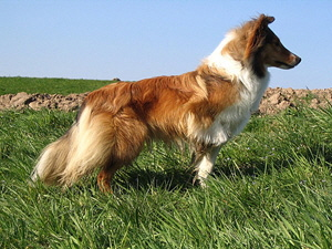 Shelties_Marz_07_012