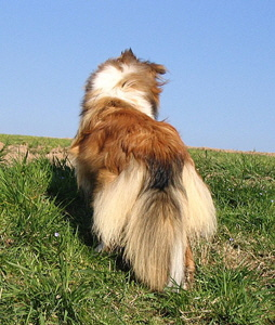 Shelties_Marz_07_013