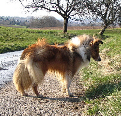 Shelties_Marz_07_065