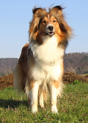 Shelties_Marz_07_079