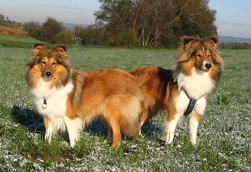 Shelties_November06_027