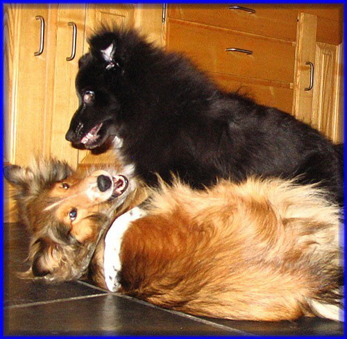 Shelties_November_08_017