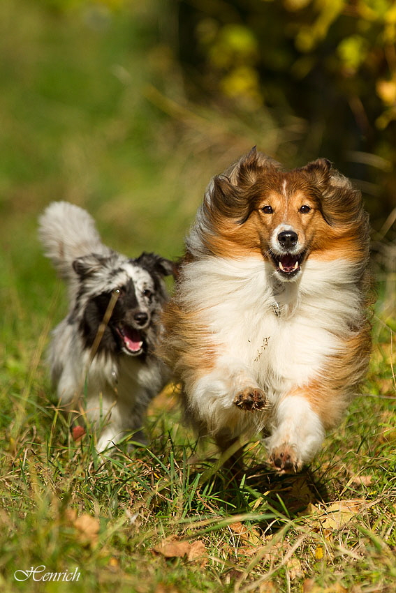 oktober 16 30 shelties (118) a c
